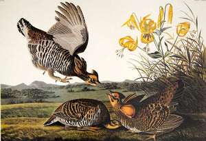 Audubon Princeton Print for sale Plate 186 Pinnated Grous, closer view