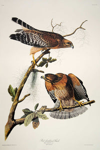 Audubon Princeton Print for sale Pl 56 Red Shouldered Hawk, full sheet view