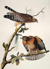 Load image into Gallery viewer, Audubon Princeton Print for sale Pl 56 Red Shouldered Hawk, closer view