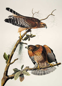 Audubon Princeton Print for sale Pl 56 Red Shouldered Hawk, closer view