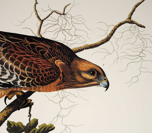 Audubon Princeton Print for sale Pl 56 Red Shouldered Hawk, detail