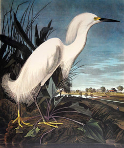 Audubon Princeton Prints for sale Pl 242 Snowy Heron or White Egret, closer view