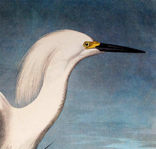 Load image into Gallery viewer, Audubon Princeton Prints for sale Pl 242 Snowy Heron or White Egret, detail
