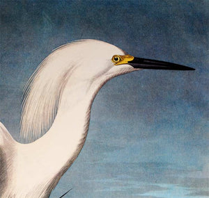 Audubon Princeton Prints for sale Pl 242 Snowy Heron or White Egret, detail