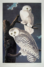 Load image into Gallery viewer, Audubon Princeton Prints for sale Pl 121 Snowy Owl, full sheet view