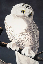 Load image into Gallery viewer, Audubon Princeton Prints for sale Pl 121 Snowy Owl, detail
