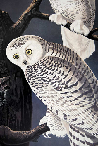 Audubon Princeton Prints for sale Pl 121 Snowy Owl, detail
