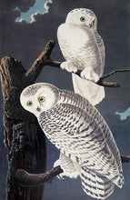 Load image into Gallery viewer, Audubon Princeton Prints for sale Pl 121 Snowy Owl, closer view