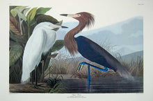 Load image into Gallery viewer, Plate 256 Purple Heron or Reddish Egret, Princeton Audubon Print