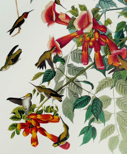 Audubon Princeton Print 47 Ruby Throated Hummingbird, detail