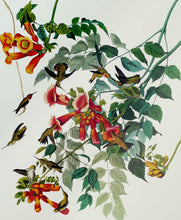 Load image into Gallery viewer, Audubon Princeton Print 47 Ruby Throated Hummingbird, detail
