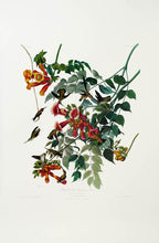 Load image into Gallery viewer, Audubon Princeton Print 47 Ruby Throated Hummingbird, full sheet