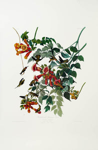 Audubon Princeton Print 47 Ruby Throated Hummingbird, full sheet