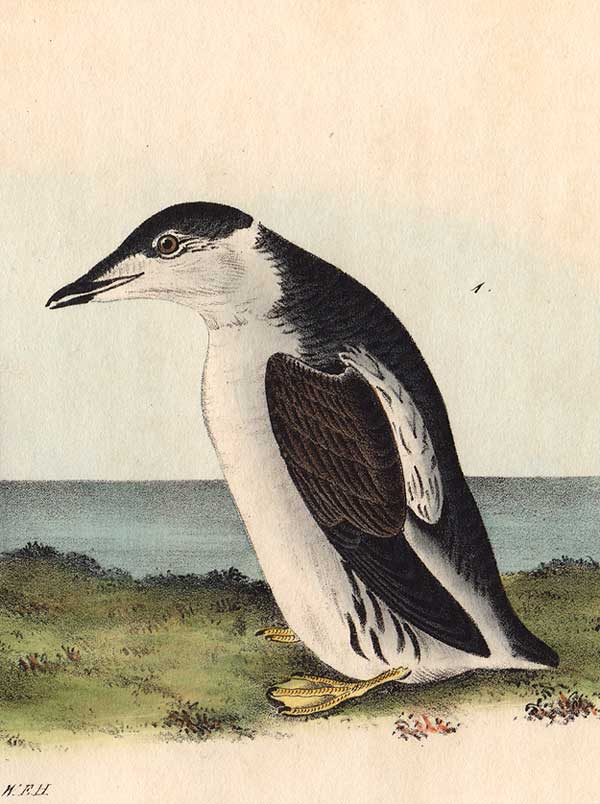 Detail of Slender Billed Guillemot by Audubon