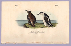 Slender Billed Guillemot by J. Audubon from Birds of America, Royal Octavo First Edition