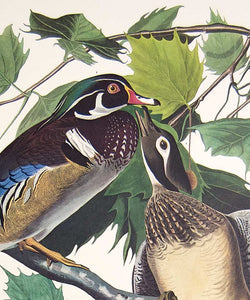 Plate 206 Summer or Wood Duck, Princeton Audubon Print