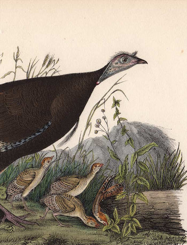 Original Audubon Octavo 1840 First Edition Print 288 Wild Turkey, detail