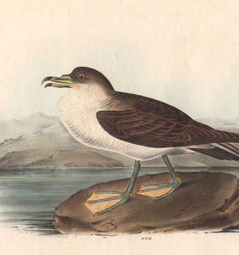 Detail of Original 1840 Octavo Plate 456 by John J Audubon
