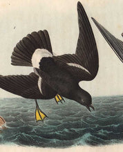 Load image into Gallery viewer, detail of Wilson's Petrel octavo print by Audubon
