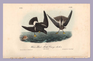 Plate 460, Wilson's Petrel from Birds of America, Royal Octavo, first edition by John J Audubon