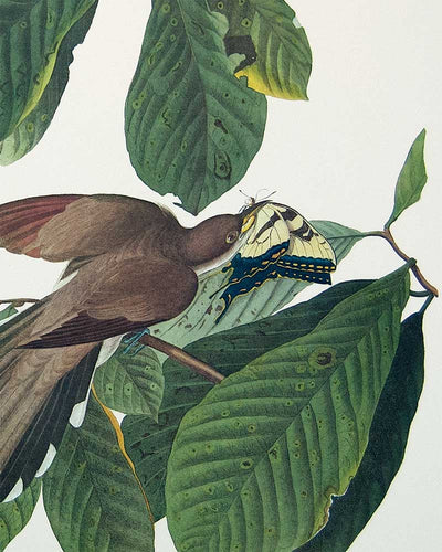 Detail of Yellow-Billed Cuckoo by John J Audubon