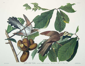 Plate 002 Yellow-Billed Cuckoo, Princeton Audubon Print