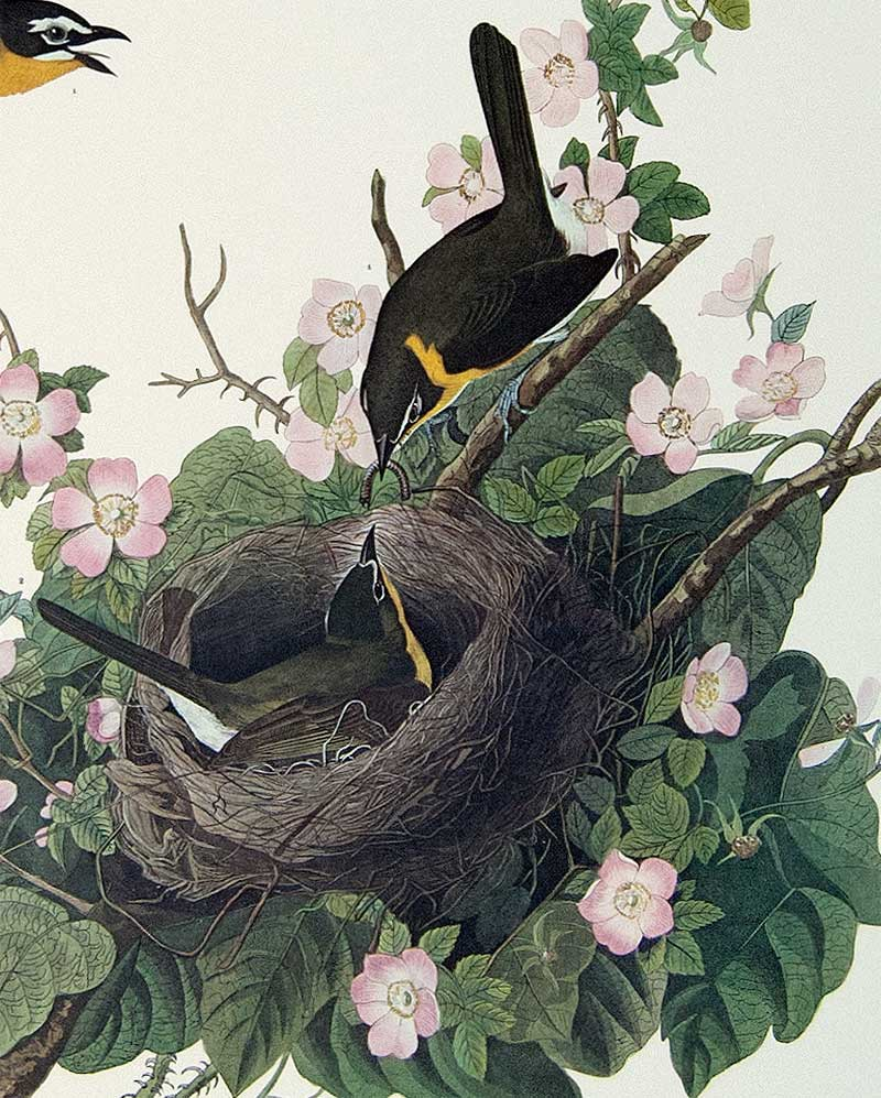 Detail of Audubon Plate 137 Yellow Breasted Chat