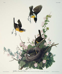 Detail of Yellow Breasted Chat print by John J Audubon