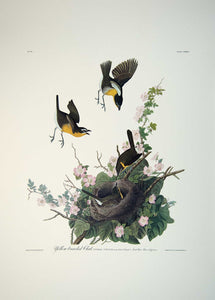 Plate 137 Yellow Breasted Chat, Princeton Audubon Print