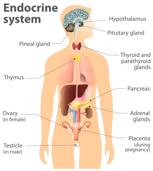 The endocrine system is our chemical messenger system consisting of hormone glands that secrete hormones into the circulatory system to regulate the function of distant target organs and hormone feedback loops in order to maintain homeostasis