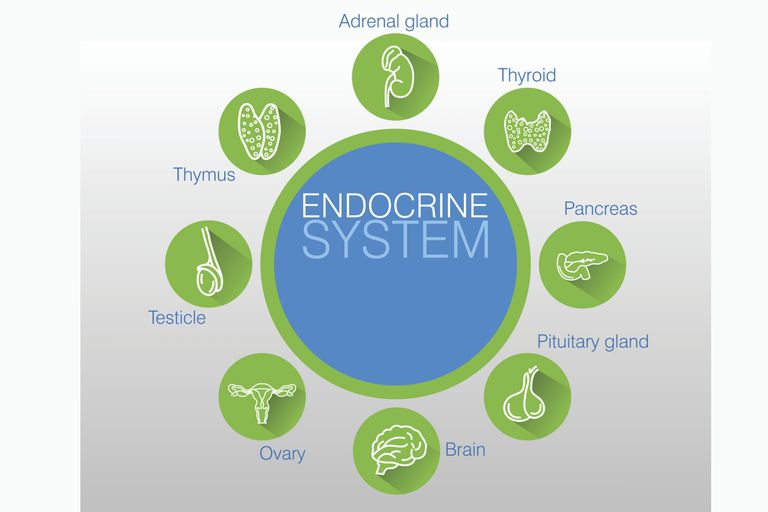 How Does Your Endocrine System Work?