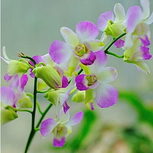 Ornamental Orchid Bonsai - 200 Seeds / Pack - HOT!