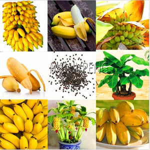 Dwarf Banana Tree - 100 seeds / pack - HOT!