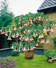 Load image into Gallery viewer, Brugmansia & Datura: Angel's Trumpet - 100 seeds/pack
