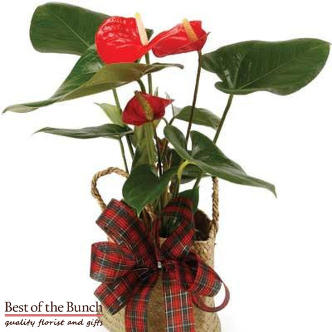 Anthurium Plant - Best of the Bunch Florist Wellington