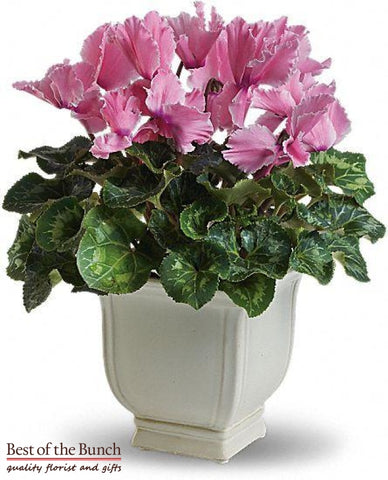 Cyclamen Plant-Limited Time Only - Best of the Bunch Florist Wellington
