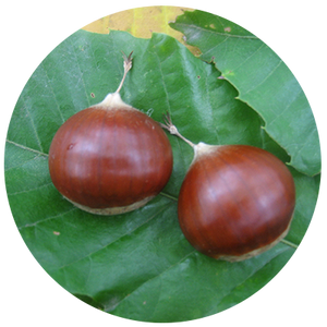 Beautiful chestnuts and chestnut leaves