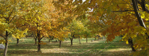 chestnut orchard in the fall