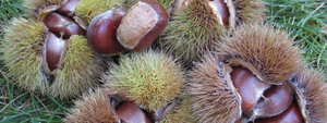 Fresh edible chestnuts