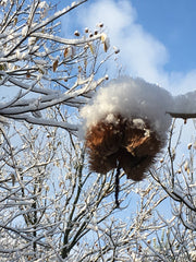 chestnut burr with snow