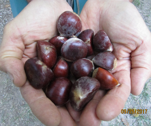 Large Sized Chestnuts from Chestnut Charlie's. Fresh Organic Chestnuts