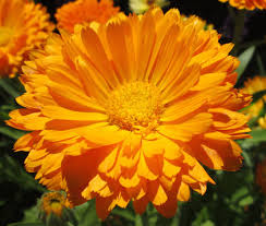 Marigold Magic For Tiny Bodies