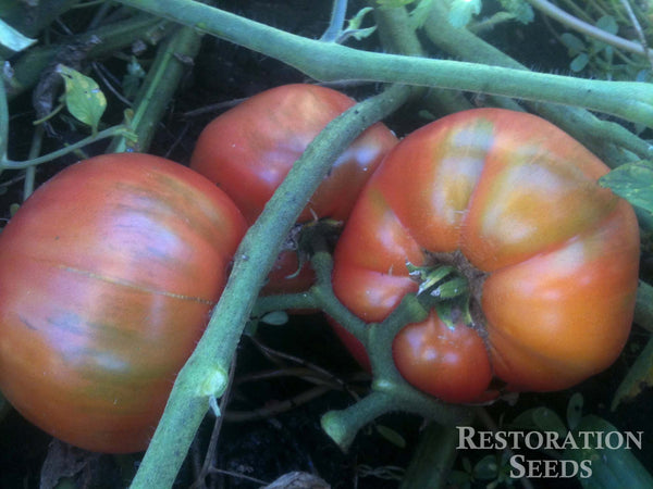 African Queen tomato image####