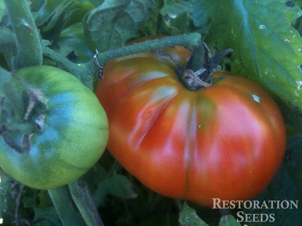 Aker's West Virginia  tomato image####
