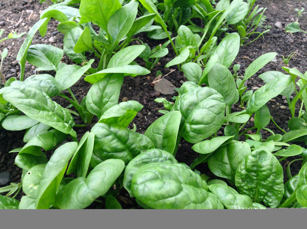 America spinach image####
