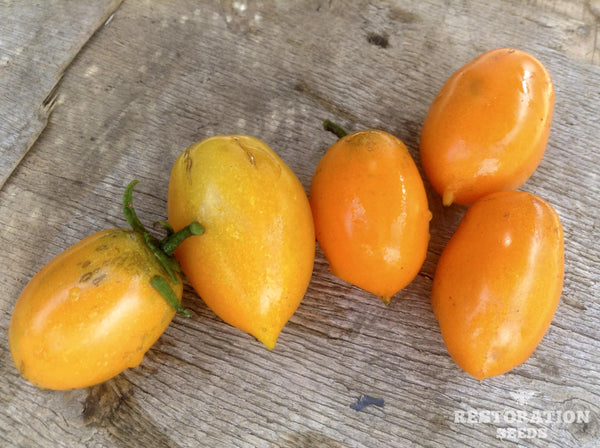 Amish Gold tomato image####
