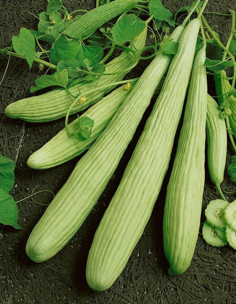 Armenian Pale Green cucumber image####
