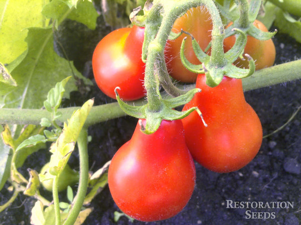 Austin's Red Pear  tomato image####