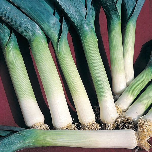 Autumn Mammoth Hannibal leek image####