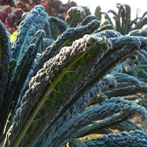 Black Magic kale image####